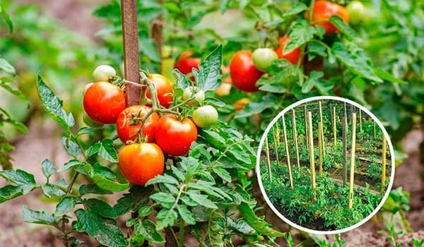 Как подвязывать помидоры в открытом грунте правильно?