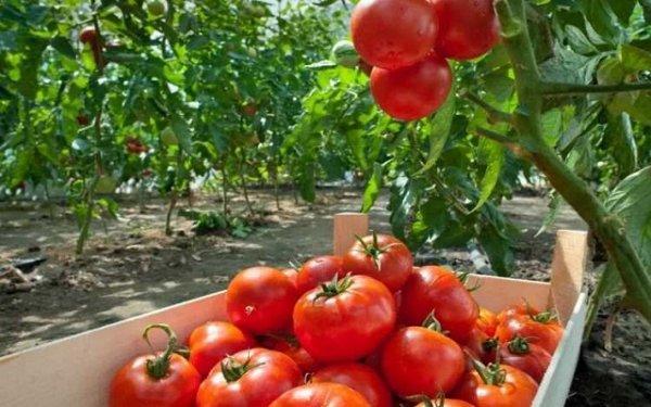Семена томатов фирмы Партнер. Каталог помидор с описанием