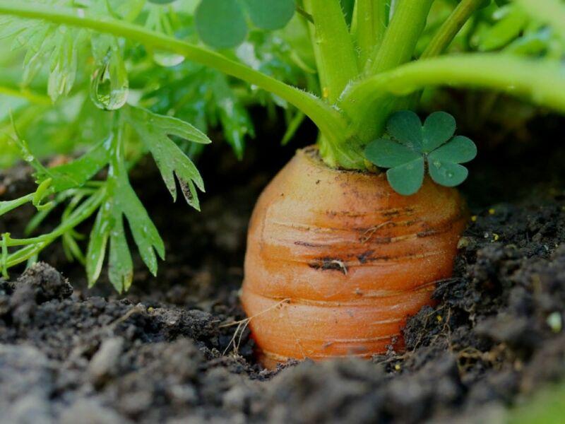 Когда и как правильно сажать сеять морковь по Лунному календарюв 2019 году. Посадка и уход в открытом грунте