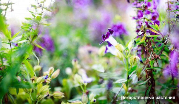 Дикие травы снова в моде - как собирать и применять?