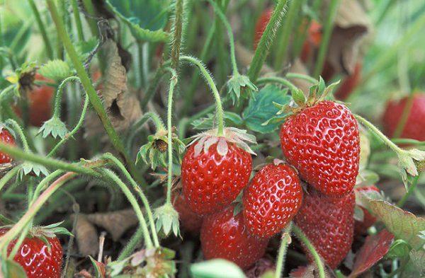 Выращивание клубники на Урале - особенности и советы