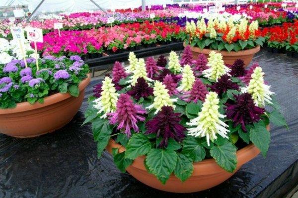 Цветы сальвия фото + выращивание и уход