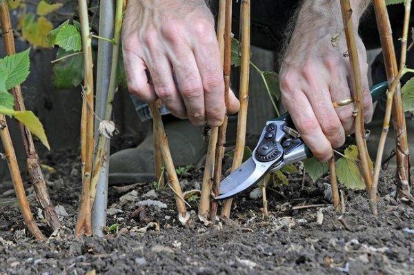 Обрезка малины весной для начинающих: как правильно обрезать, чтобы был хороший урожай?