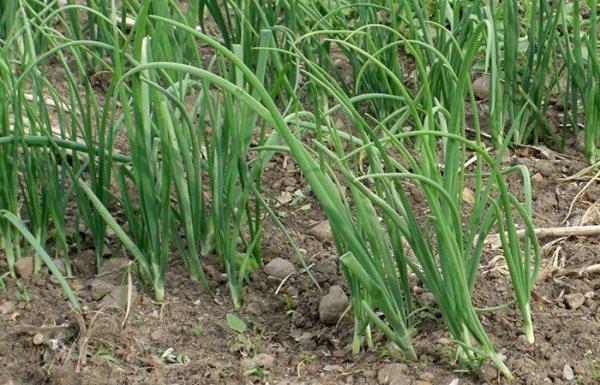 Лук чернушка посадка весной в открытый грунт
