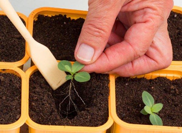 Эустома выращивание из семян в домашних условиях