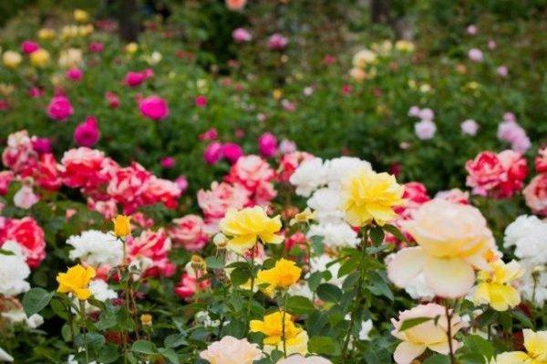 Чем обрабатывать розы весной после открытия