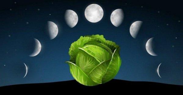 Когда сажать капусту на рассаду в 2019 году по лунному календарю