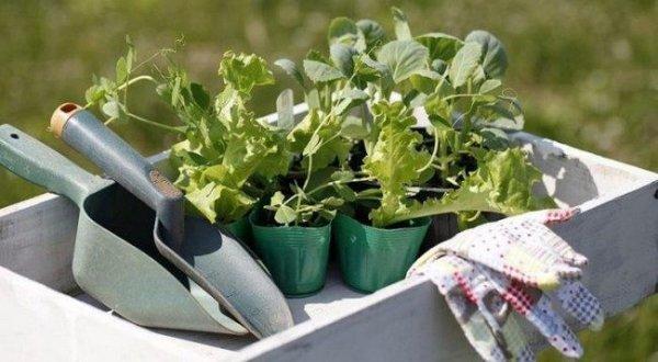 Когда сажать цветную капусту на рассаду в 2019 году по лунному календарю