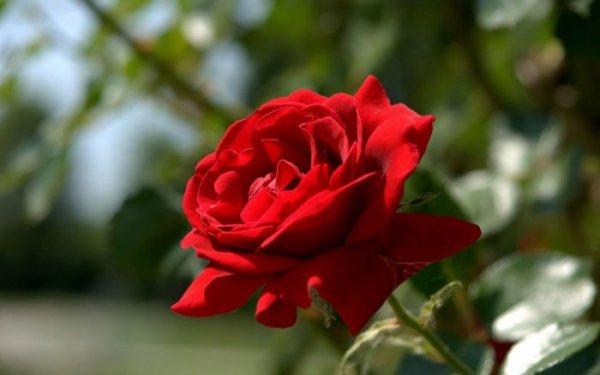 Обработка роз весной от болезней и вредителей ранней весной