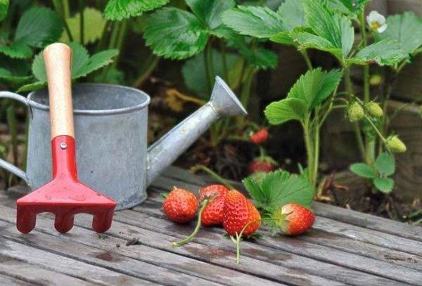 Как посадить клубнику весной в открытый грунт