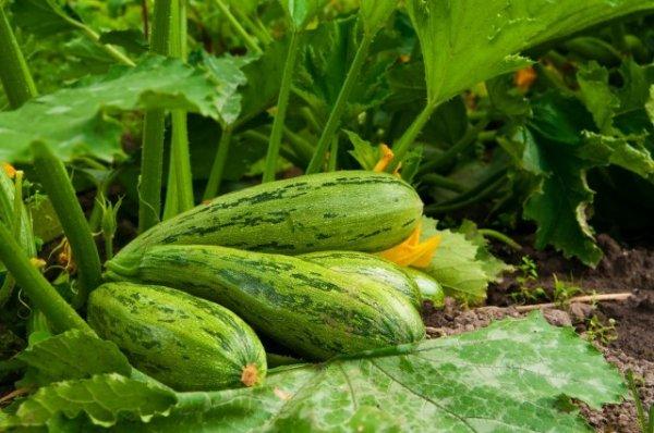 8 хитростей для большого урожая кабачков. Посадка, подкормки, полив, сбор урожая.