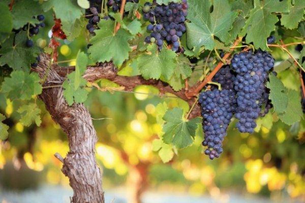 Формирование виноградного куста на высоком штамбе. Схемы, фото