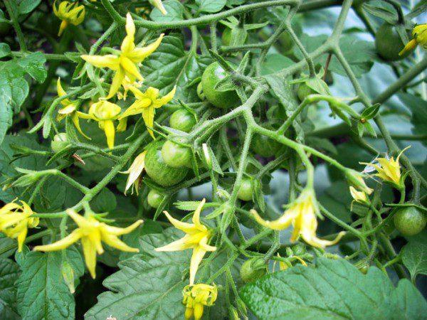 Подкормки помидор во время цветения