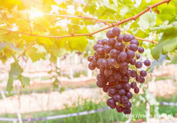 Полив и подкормка винограда летом