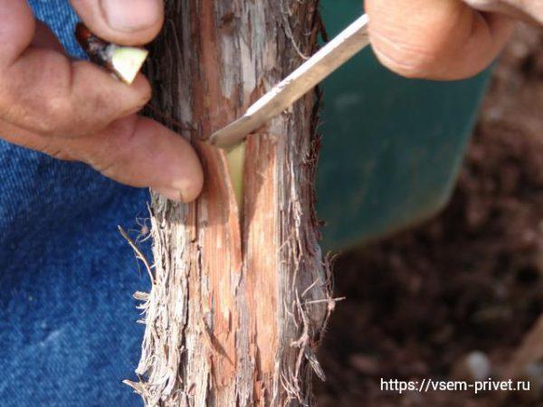Прививка винограда осенью с фото пошагово