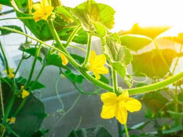 Не формируются завязи на огурцах – как не допустить появление пустоцвета