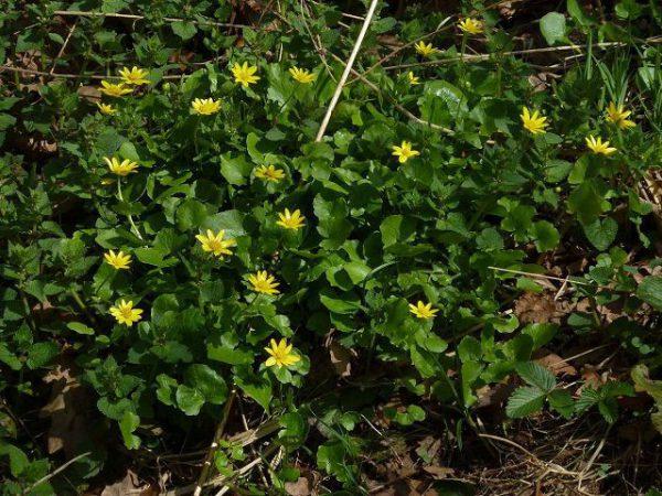 Чистяк весенний: описание, лечебные свойства, выращивание